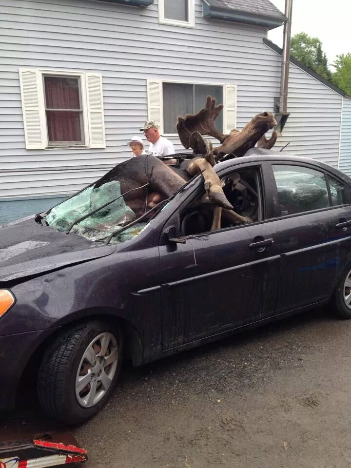 Moose-Car Accident
